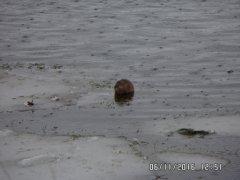 Оказывается ондатры любят циклоны!