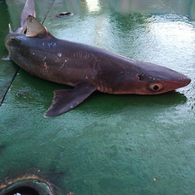 Акула 2.jpg